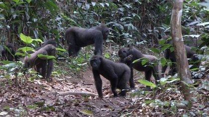Un estudi del CSIC i la UB revela que els goril·les de les planes són tolerants i sociables