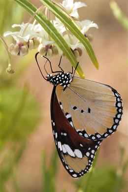 Invertebrados Dchrysippus en el Real Jardín Botánico