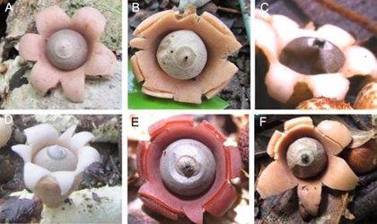 Descubiertas seis nuevas especies del hongo 'estrella de la tierra'