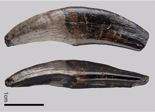 Restos de canino superior izquierdo fosilizado de un macaco