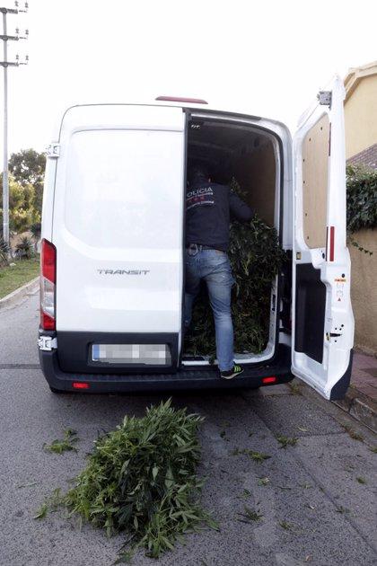 Decomissen 11.000 plantes de marihuana i 500.000 euros en l'operatiu antidroga al Camp de Tarragona i el Baix Penedès