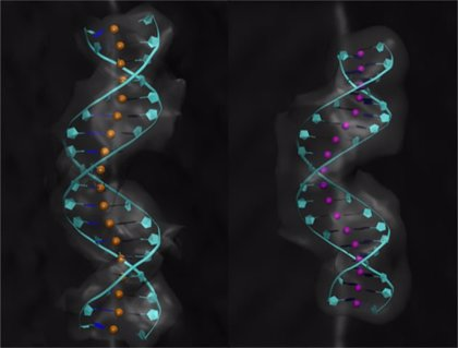 Investigadores del CSIC revelan nuevos detalles sobre la flexibilidad del ADN