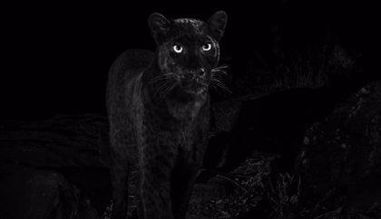 Es Viral: Las imágenes de un leopardo negro capturadas por un fotógrafo de vida salvaje durante una expedición en Kenia