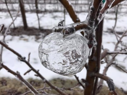 """Manzanas """"fantasma"""", el curioso hallazgo de un granjero tras el vórtice polar que azotó Estados Unidos"""