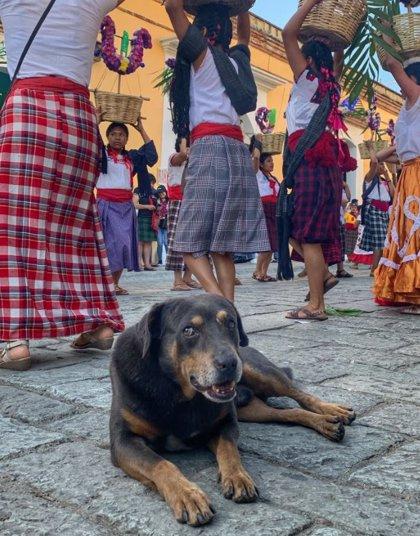 Baila, acude a manifestaciones y acompaña a corredores: así es Mazapán, el perro más popular de Oaxaca (México)