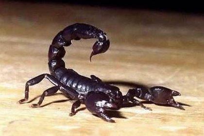 Aumentan en un 800% el ataque de escorpiones en Brasil, ¿por qué?