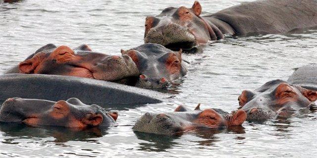 Hipopótamos en el estuario de Santa Lucía en Sudáfrica