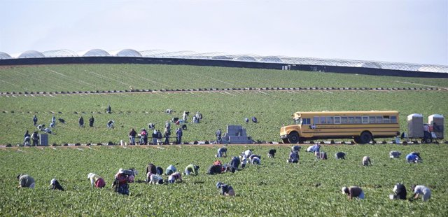 Farmworkers pick strawberries at a farm in the town of San Quintin, Baja Califor