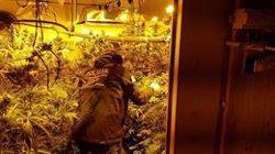 Tretze detinguts i 3.000 plantes intervingudes a una xarxa que conreava marihuana per vendre-la a Europa (MOSSOS D'ESQUADRA)