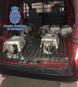 Desmantelan un criadero ilegal de chihuahuas y rescatan a doce perros en una viv