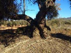 La Taula del Sènia vol multiplicar per set la producció de les oliveres mil·lenàries (ACN)
