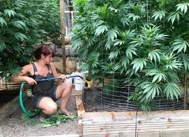 An unnamed worker waters cannabis plants on Steve Dillon's farm in Humboldt Coun