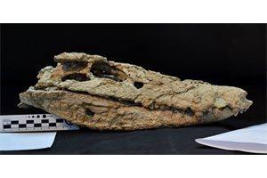 Nuevo cocodrilo de 70 millones de años excepcionalmente conservado