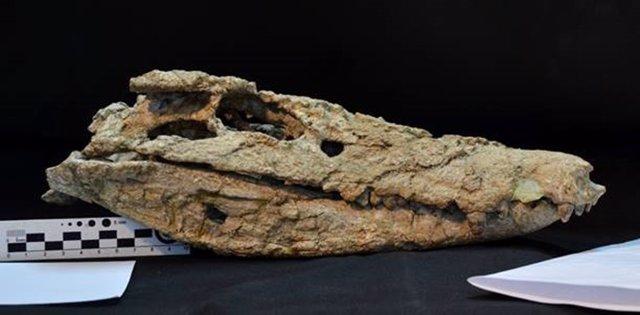 Cráneo del cocodrilo 'Barrosasuchus neuquenianus'