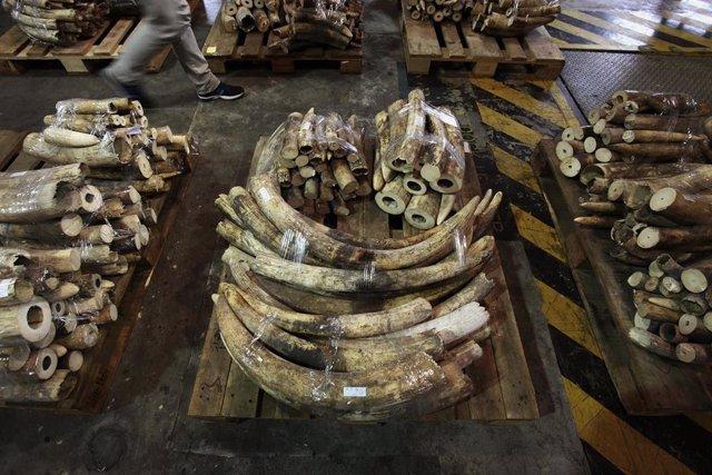 Incautación de marfil importado de contrabando (archivo)