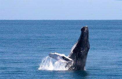 Las espectaculares ballenas jorobadas llegan a República Dominicana