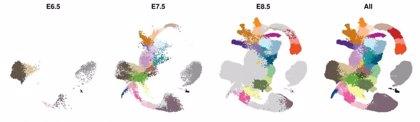 Investigadores establecen el plano molecular del desarrollo embrionario temprano