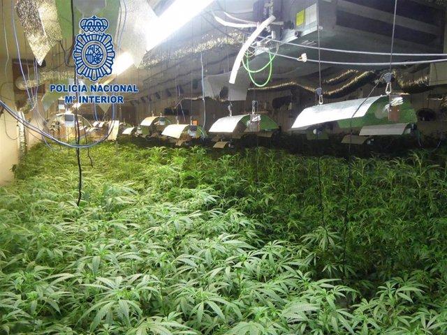 Sucesos.- Desmantelan dos plantaciones de marihuana en Mataró (Barcelona) con má