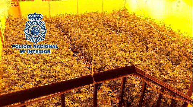 Málaga.- Sucesos.- La Policía Nacional se incauta de más de 300 plantas de marih