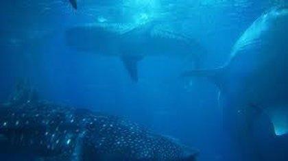 Las ballenas azules confían más en la memoria que en señales ambientales para encontrar presas