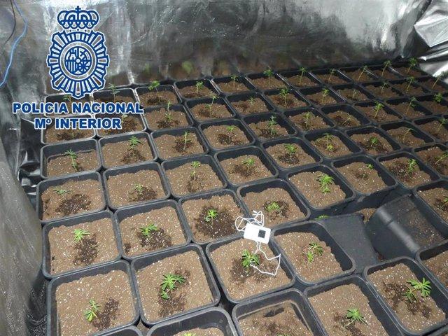 Cádiz.-Sucesos.- Desmantelados dos puntos de cultivo de marihuana en Sanlúcar tr