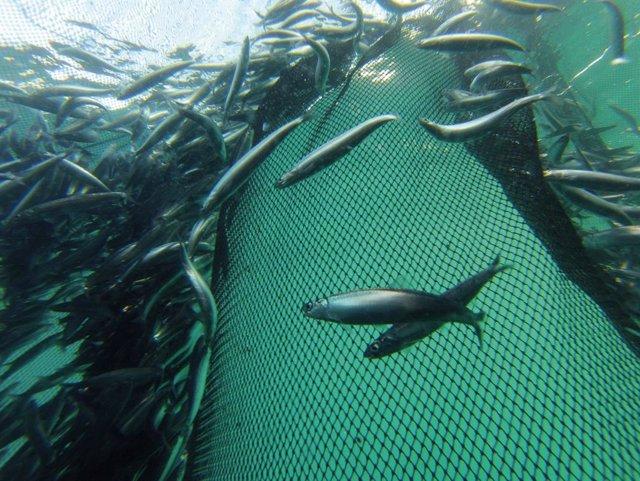 Azti constata que la anchoa del Golfo de Bizkaia resiste al cambio climático y s