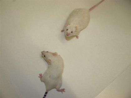 Hallan un nuevo mecanismo de crecimiento óseo, en ratones