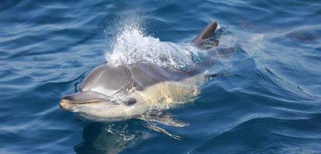 Ejemplar de delfín en el Mar de Alborán