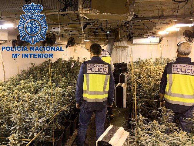 Plantación de marihuana en El Puerto