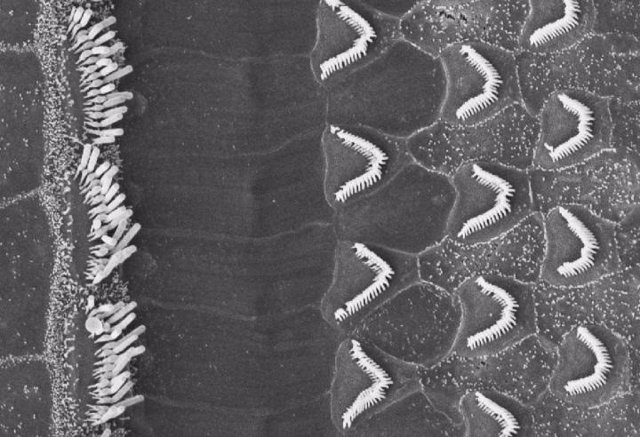 EEUU.- Una proteína del oído interno dice mucho sobre cómo el sonido se conviert