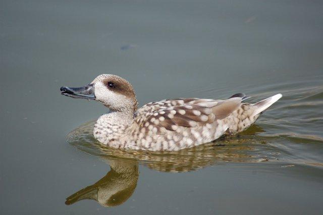 Na cerceta pardilla, pato en peligro crítico de extinción