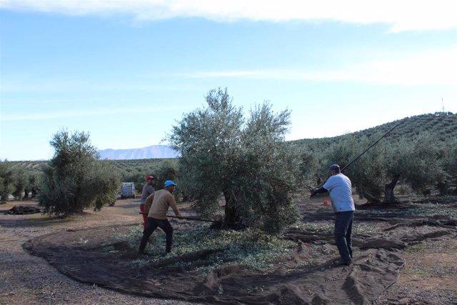 Trabajadores recogen aceituna en un olivar de Sierra Mágina.