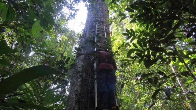 Midiendo árboles en el Amazonas