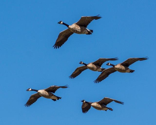 Gansos volando en formación