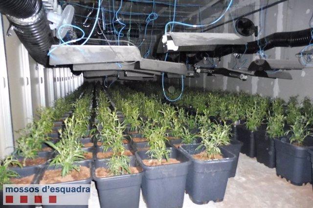Detinguts tres homes per conrear marihuana en una nau industrial inactiva de