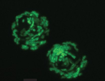 Un análogo de la vitamina B3 aumenta la producción de células sanguíneas