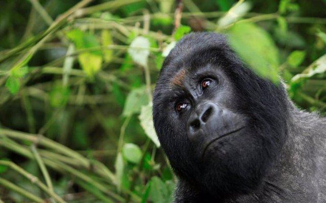 Un gorila de montaña en el parque nacional de Virunga