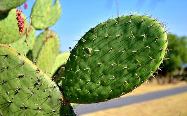 Nopal, el cactus milagroso de la gastronomía Mexicana