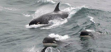 Localizan una posible nueva especie de ballena asesina en Cabo de Hornos, Chile