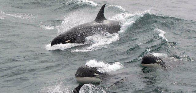 VÍDEO Esta pueda ser una nueva especie de ballena asesina