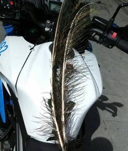 Sucesos.- Denunciado un hombre en Valladolid por arrancar varias plumas a un pav