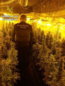 Sucesos.- Dos detenidos por cultivar 625 plantas de marihuana en un inmueble de