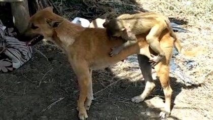 Una perra salva a un mono huérfano, lo amamanta y lo protege como si fuera su propio cachorro