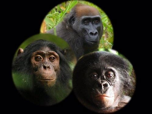 Los simios reaccionan de forma muy distinta ante una cámara trampa