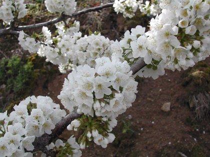 La floración en el Valle del Jerte anuncia las mejores cerezas