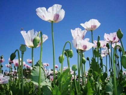 """ONU aconseja permitir el cultivo de drogas ilícitas para """"permitir transiciones a medios de vida más sostenibles"""""""