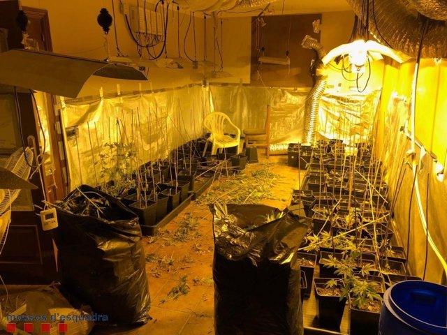 Sucesos.- Hallan un cultivo de marihuana valorado en 18.000 euros en Sant Esteve