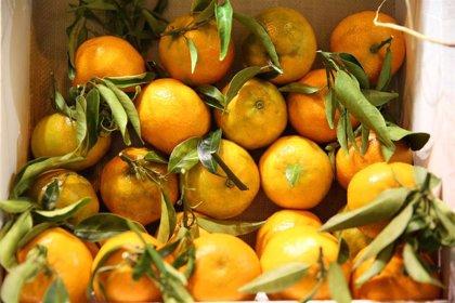 Ayuntamiento de Sevilla culmina la recogida de una de las mayores cosechas de naranjas en años, de 5,5 millones de kilos