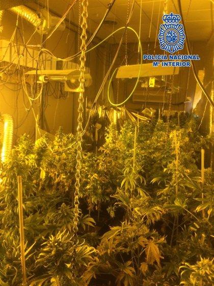 Una detenida en Almería capital tras incautarle unas 91 plantas de marihuana en una vivienda