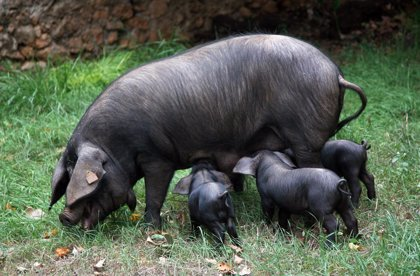 El porc negre mallorquí conté un 60% més grasses saludables que l'industrial, segons un estudi del Govern